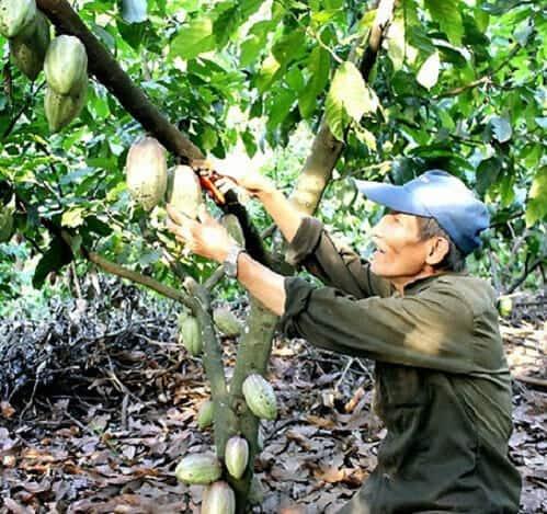 Vườn cây Ca Cao ngon nhất thế giới ở Việt Nam